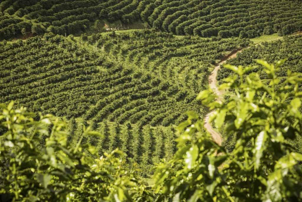 where is arabica coffee grown