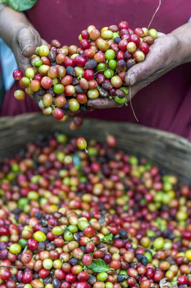 coffee tree or bush