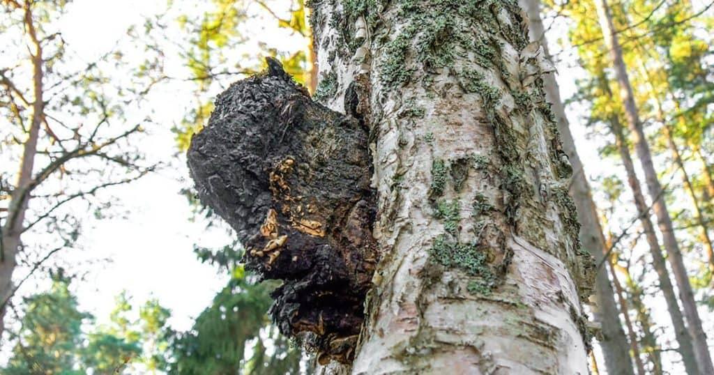 Tree with Chaga Mushroom